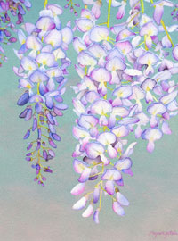 155 - Afternoon Wisteria